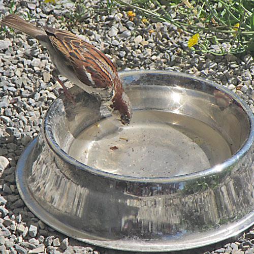 Trinkender Vogel auf Hundenapf