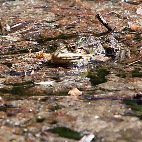 Froschkönig beim Sonnenbaden