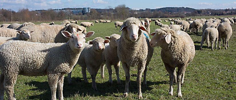 Von Schafen und Böcken